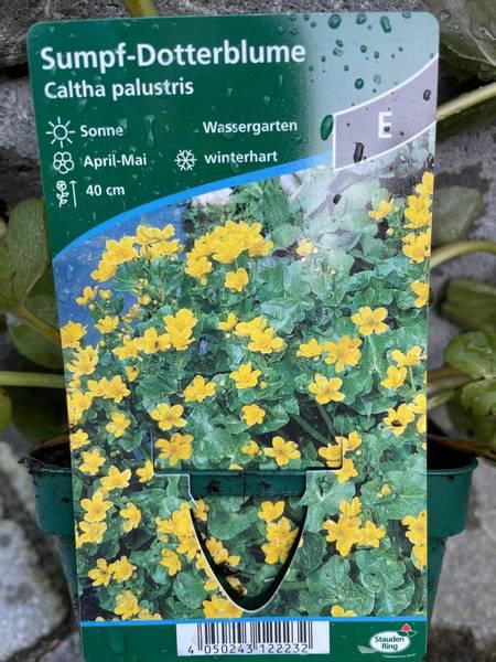 Caltha palustris, Bekkeblom