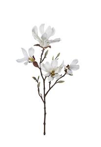 Bilde av Magnolia 50 cm