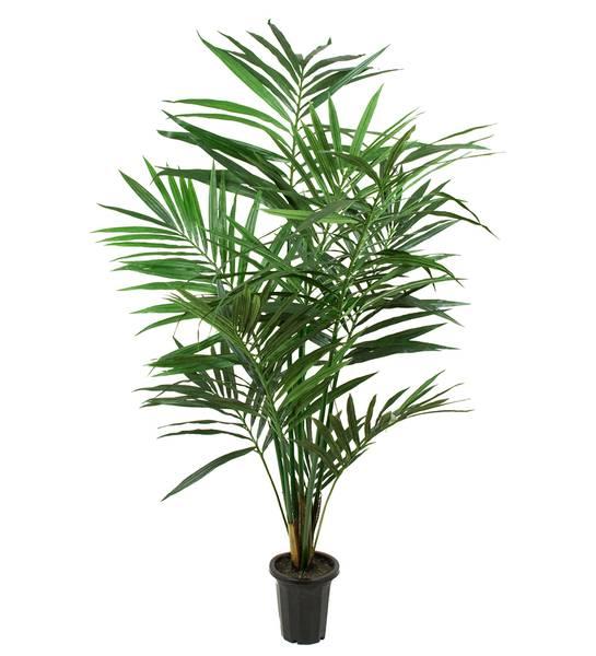 Kentia Palme (120 cm)
