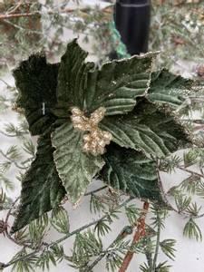 Bilde av Julestjerne, blomst grønn