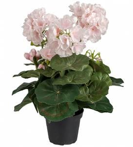 Bilde av Pelargon, rosa