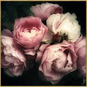 Bilde av Bildeprint Rosa roser 80x80cm