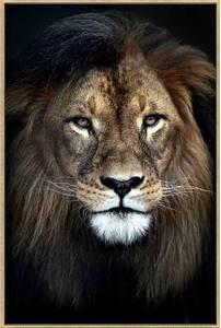 Bilde av Bildeprint  Løve