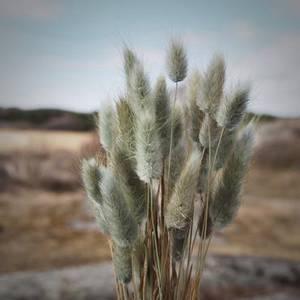 Bilde av Lagurus -Mosegrønn