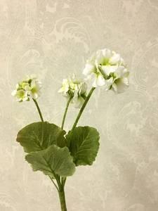 Bilde av Primula, hvit, stilk