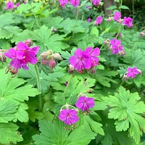 Bilde av Geranium cantabrigense 'Cambridge' -