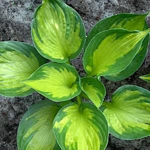 Bilde av Hosta 'Colored Hulk'