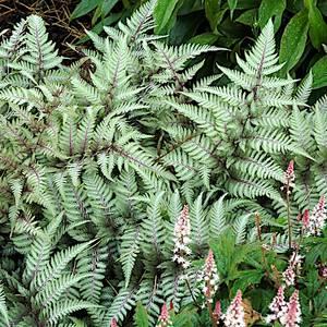 Bilde av Athyrium niponicum 'Pictum' - Orientburkne