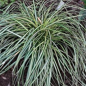 Bilde av Carex oshimensis 'Evergold' - Japanstarr