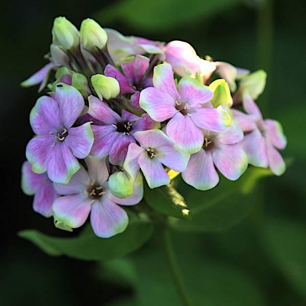 Phlox paniculata 'Sherbet Blend' - Høstfloks