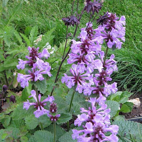 Stachys grandiflora - Prydsvinerot