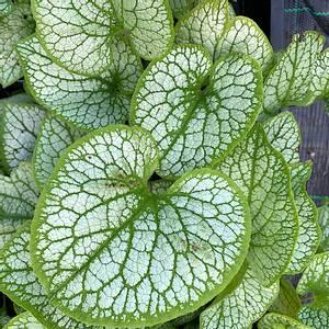 Bilde av Brunnera macrophylla 'Silver Spear' -