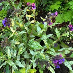 Bilde av Pulmonaria longifolia 'Diana Clare' - Lungeurt