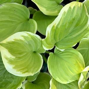 Bilde av Hosta 'Fragrant Bouquet'