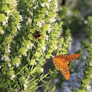 Bilde av Hyssopus officinalis alba - Isop