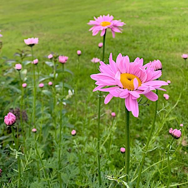 Tanacetum coccineum 'Robinsons Rose' - Rosenkrage