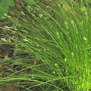 Bilde av Carex remota - Slakkstarr