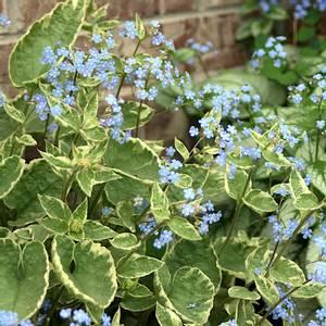 Bilde av Brunnera macrophylla 'Hadspen Cream' -