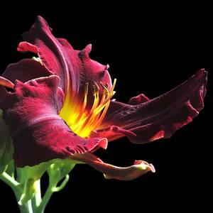 Bilde av Hemerocallis 'Purpleicious' - Daglilje