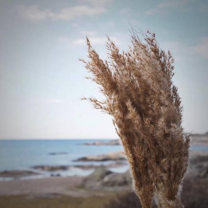 Bilde av Plume Reed Natur