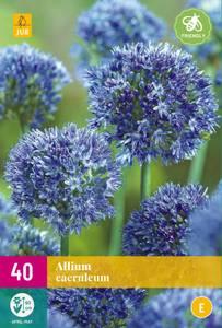 Bilde av Allium Caeruleum 40stykk big pack