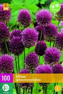 Bilde av Allium Sphaerocephalon 100 stykk big pack