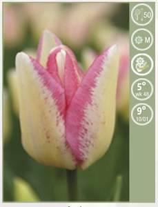 Bilde av Tulipan Supermodel 7 stykk