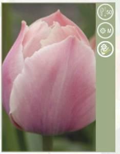 Bilde av Tulipan Salmon van Eijk 10 stykk