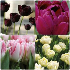 Bilde av Tulipan big pack mix Syverud Gaard 30pakk