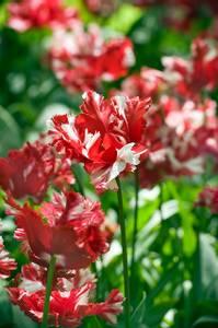 Bilde av Tulipan Estella Rijnveld 7 stykk