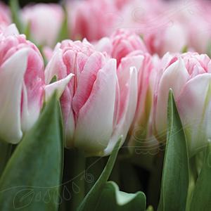 Bilde av Tulipan Foxtrot 7 stykk