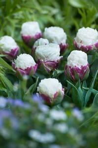 Bilde av Tulipan Ice Cream