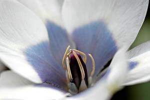 Bilde av Tulipan Humilis Alba Coerulea Oculata 10 stykk
