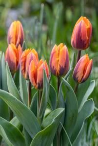 Bilde av Tulipan Prinses Irene 10 stykk