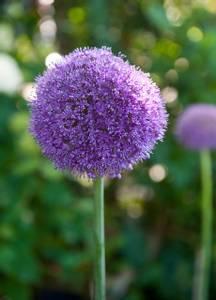 Bilde av Allium Giganteum 1 stykk