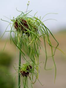 Bilde av Allium Hair 10stykk