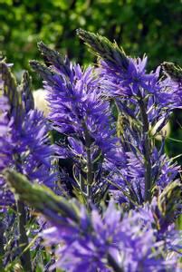Bilde av camassia leichtlinii caerulea 2 stykk