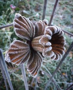 Bilde av Påskelilje ca 75cm høy