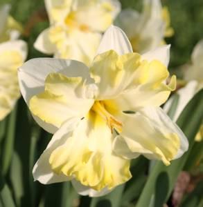 Bilde av Narcissus Cassata