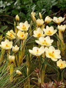 Bilde av Crocus Cream Beauty  20 pakk