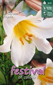 Bilde av Lilium Regale kongelilje