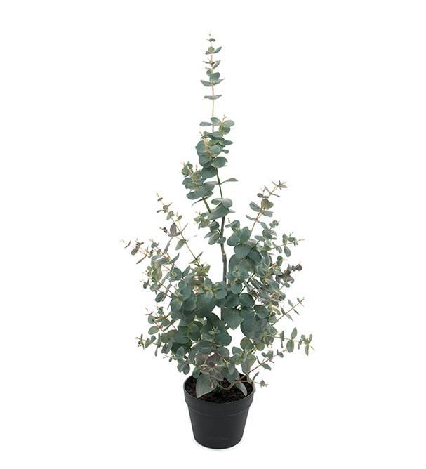 Bilde av Eucalyptus 95 cm