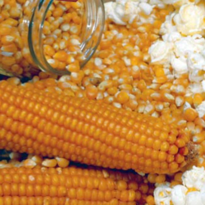 Bilde av Økologisk popcornmais 500g