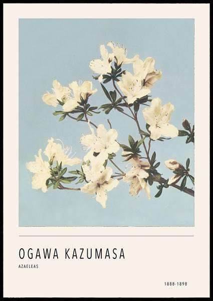 Bilde av O. Kazumasa Azaeleas plakat