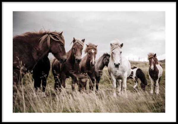 Bilde av ISLANDIC HORSES PLAKAT