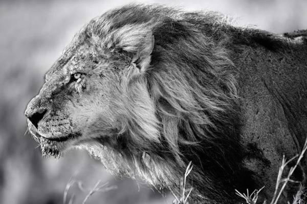 Bilde av LION B&W POSTER