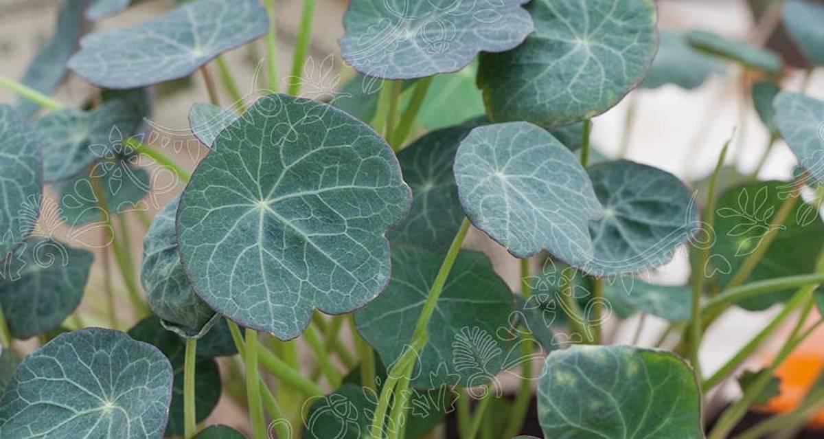 Micro Leaf Salatkarse