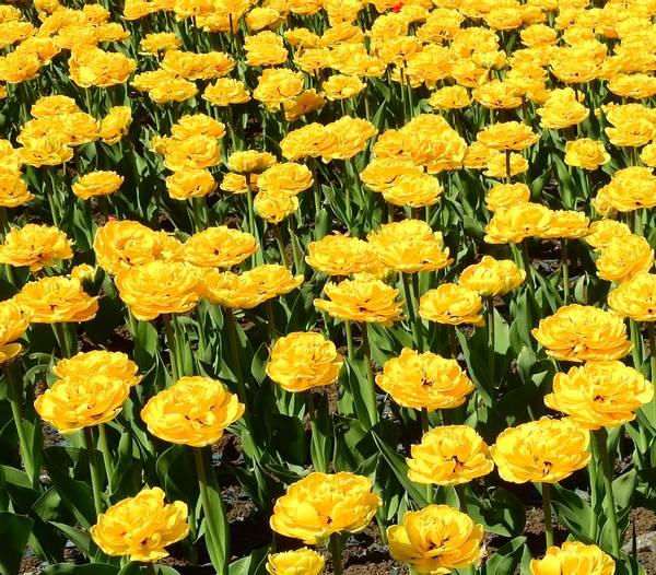 Bilde av Tulipa Dubbel Laat Yellow Pompenette.