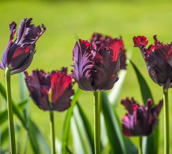 Bilde av Tulipa Black Parrot, Parkiet. Blomsterløk-Tulipan