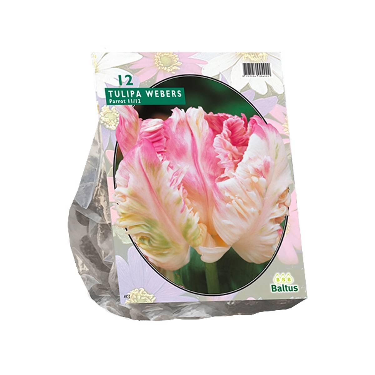 Tulipa Pink Vision, Løk størrelse: 11/12. Antall løk 12